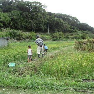 稲刈り~自然農の米作り~ - ワークショップ