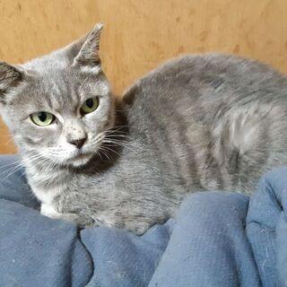【シルバー】札幌近郊可能。穏やかな美猫さん。