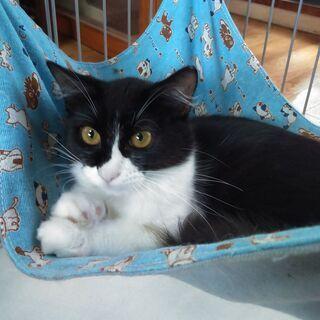 ぴーちゃん。5月生まれ可愛い白黒半長毛仔猫です☆