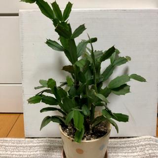 シャコバサボテン 観葉植物