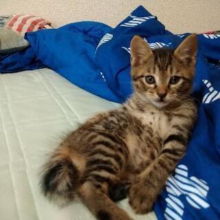 【至急】生後2ヶ月弱 子猫♂ 一匹
