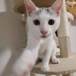 ★ご家族が決まりました😊 3.5ヵ月 白猫ちゃん 男の子