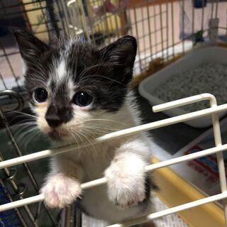 オスメスきょうだい★子猫【生後1ヶ月半】2匹います★白黒と白黒キジ