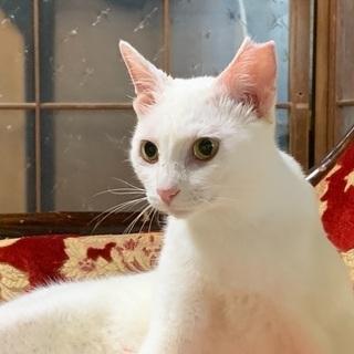 真っ白な美猫さん