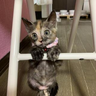 トライアルが決定しました❗陽気で可愛いサビ子猫 1.5ヶ月💕 - 焼津市
