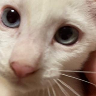 7月10日生まれ2ヶ月の白猫ちゃん鍵しっぽです!