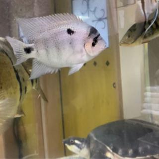熱帯魚 14cm ヴィエジャ・アルゲンティア