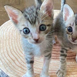 1か月半の赤ちゃん子猫・3きょうだいの1匹