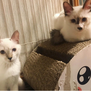 更新④【重要なお知らせ】怒りんぼうの子猫兄妹⭐︎からしとわさびの...