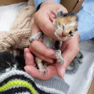9月4日ごろ生まれの三毛猫の赤ちゃん、里親募集です