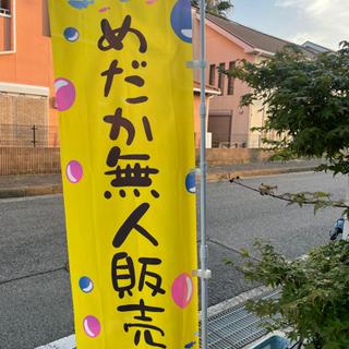 極龍(フルボディー)渋いです✨ メダカ販売