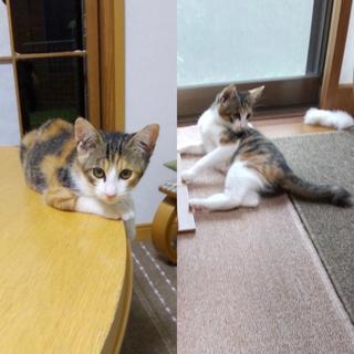 里親様決定 3ヶ月くらいの三毛の女の子 ミルクちゃん。 - 猫