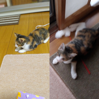 里親様決定 3ヶ月くらいの三毛の女の子 ミルクちゃん。 − 徳島県