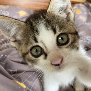 【トライアル決定】とってもかわいい子猫です。
