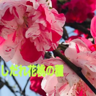 しだれ花桃の種 (源平もも)
