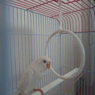 迷い鳥のセキセインコ(アルビノ)を保護しました
