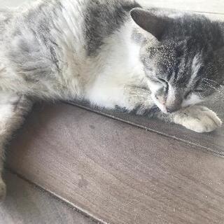 譲渡先で失踪した猫を探しています。