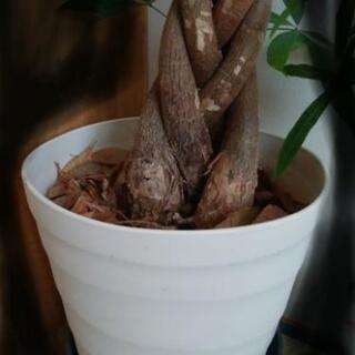 大きめの植木鉢  プランター  ください