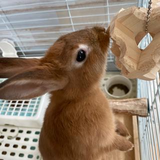(一旦応募中止します)生後3ヶ月 ミニウサギ 茶色
