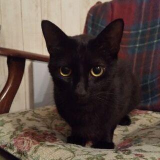 モデル級クール系イケメン黒猫さんの里親募集です。