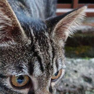 甘えん坊の美人のきじ猫さん