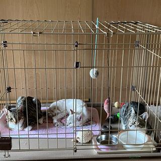 4月生まれの兄弟キジ猫ちゃん オス 去勢済み