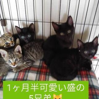 1ヶ月半5兄弟😸あと黒猫1匹のみ里親様募集中♥