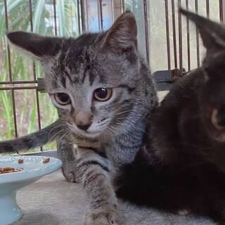 仔猫2匹キジトラ&さびちゃん、里親さん募集中