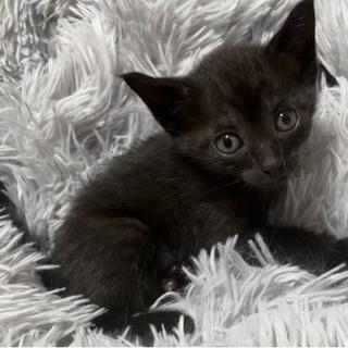 ぴょんぴょん駆けまわる生後1ヶ月 小顔・耳が大きな黒色美猫ちゃん♀