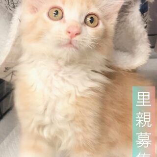 メインクーンちゃん  子猫 ●●●本文をよくご覧下さいませ。 ●●● アゴはネコ・保護猫の画像