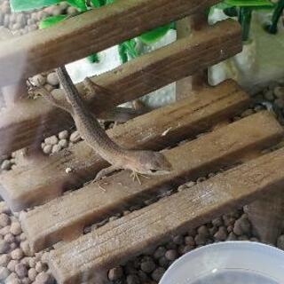 カナヘビお譲りします