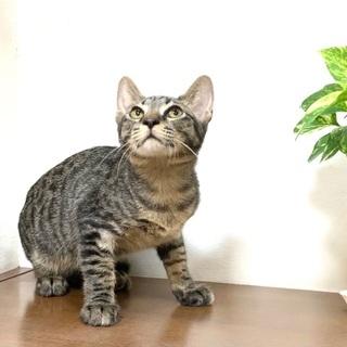 おっとり優しいキジトラの男の子♪ - 猫