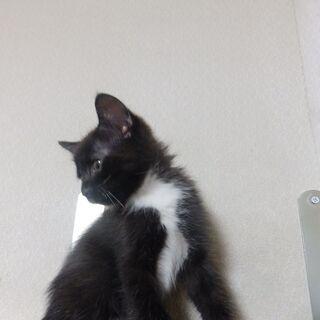 黒猫ですが胸と腹に白い毛が混じるツキノワグマ風の雌。約2ヶ月です。