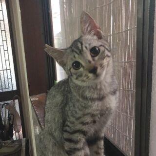 穏やかなサバトラ仔猫