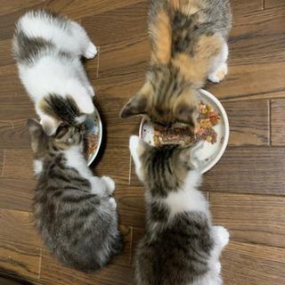 8月半ば生誕!子猫4匹!