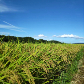 令和3年度コシヒカリ新米 特別栽培米!! 30kg(玄米)