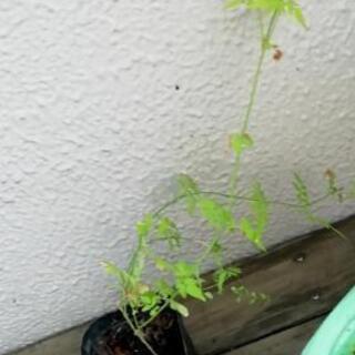 ジャスミンの苗 黄葉ジャスミン 60センチ - 厚木市