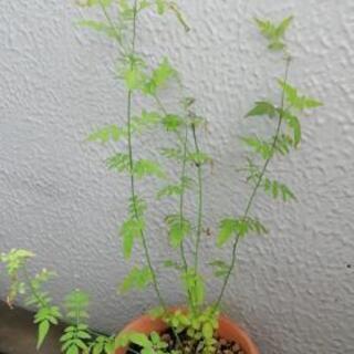 ジャスミンの苗 黄葉ジャスミン 60センチの画像