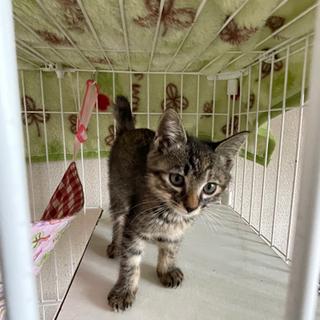1.5ヶ月可愛いサビ猫