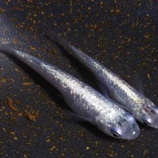 ブルースターダストメダカ(青ラメ幹之)の若魚×5匹