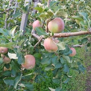りんご作業員募集