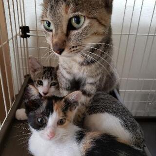 7匹の子猫を育てあげた、1~2歳のママ猫 - 和歌山市