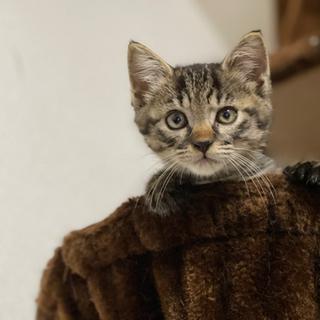 抱っこ大好き、とっても可愛い生後2ヶ月、キジトラの久君