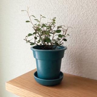 観葉植物 ワイヤープランツ⑥ ブルーカラーの2号の鉢と受け…