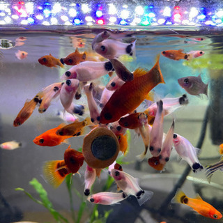 熱帯魚サザンプラティフィッシュ
