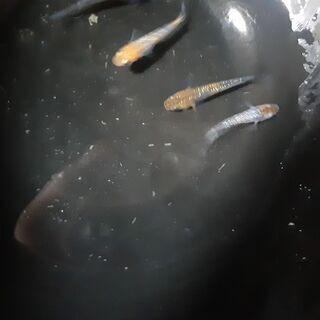 メダカ 夜桜若魚2ペア4匹、プラス1匹を、1,000円でお譲りします。