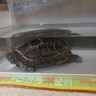 ゼニガメ 亀 16歳