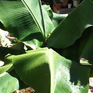 バナナの鉢植え。(引き取り限定です)
