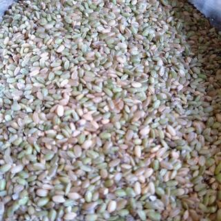 新米!山口市阿東産コシヒカリの小米玄米30キロ 阿東米 飼料米