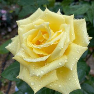 薔薇(花は黄色)